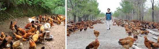 农民致富idea:树下养鸡/